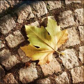 Platanenblatt, frisch am Boden gelandet