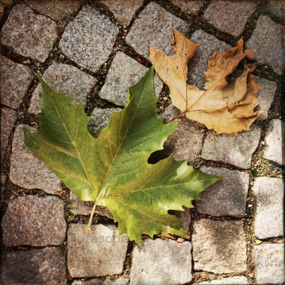 noch oder schon: Zwei ganz unterschiedliche Platanenblätter auf dem Boden