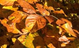 Herbstblattgoldfülle