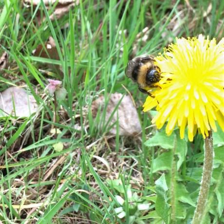 Löwenzahn mit Biene 1