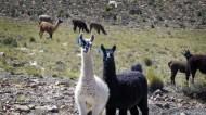 Funny Lamas