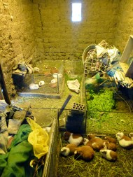 They have like 24 cuys here.. guinea pigs.. which they eat... :/