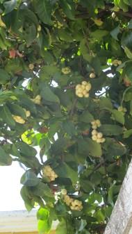 White Jango-fruit!
