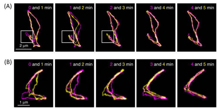 Fluorescent images of cyclic DNAs collected at different time points