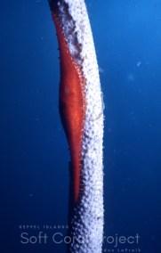 Phenacovolva (Calcaria) longirostrata