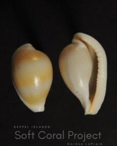 Margovula bimaculata