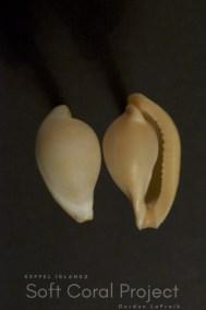 Margovula pyriformis