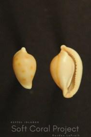 Primovula (Adamantia) kurodai