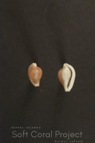 Primovula (Adamantia) fulguris