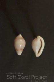 Primovula species