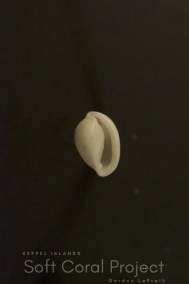 Prionovolva pudica wilsoniana (ventral)