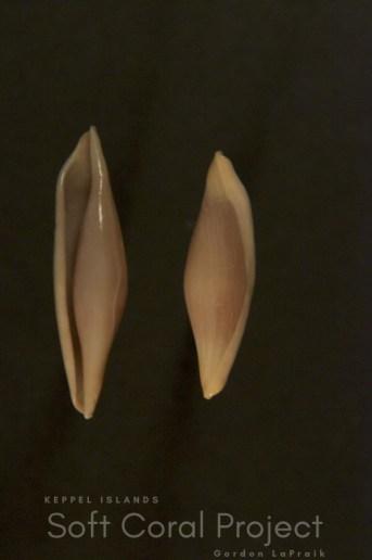 Phenacovolva (Phenacovolva) angasi