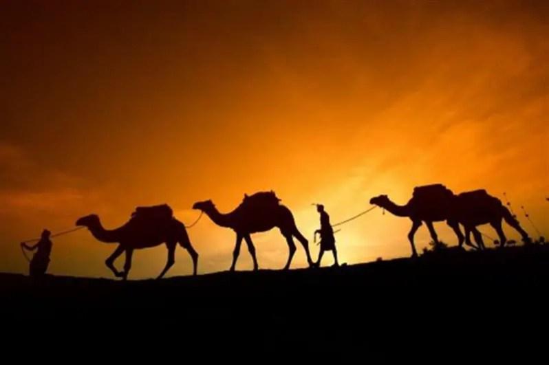unta-padang-pasir