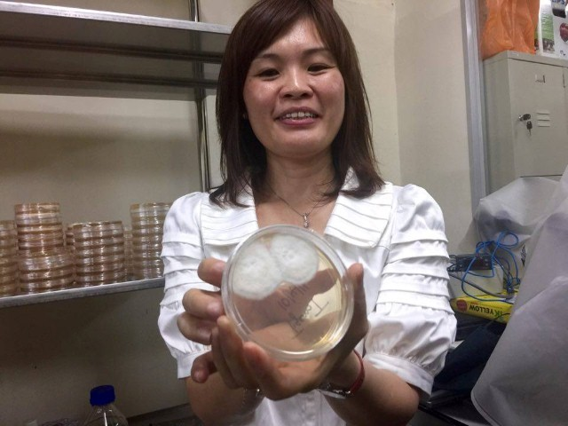 inilah yis (benih cendawan susu harimau) yang dimasukkan ke dalam nasi