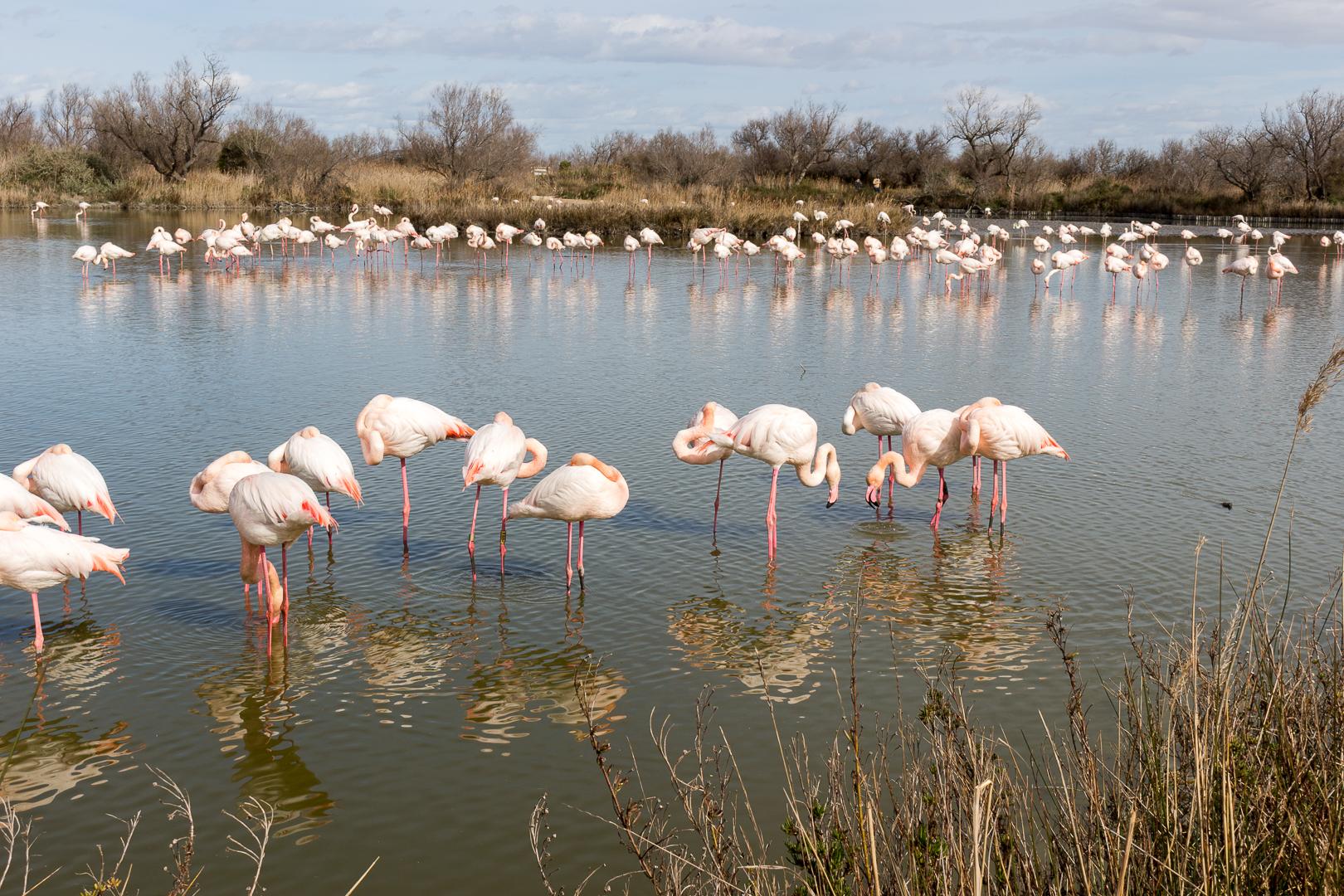 Flamants roses au Parc ornithologique de Pont-de-Gau Camargue