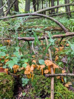 The Scent of a Yellowfoot Chanterelle