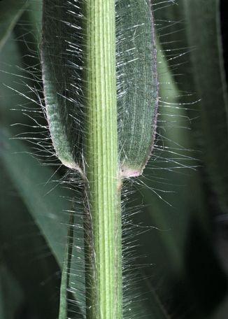 Witchgrass Panicum Capillare