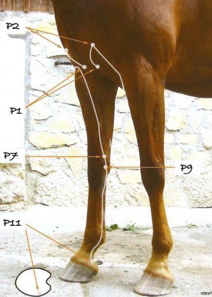 Des points shiatsu animaux: les problèmes respiratoires