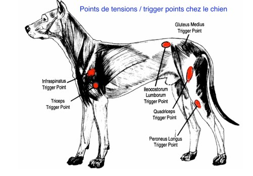 points de tension du chien