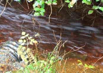 Coho Spawning stream