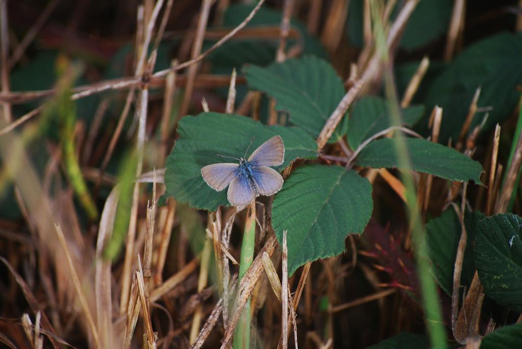 Ceraunus Blue (Hemiargus ceraunus astenidas)