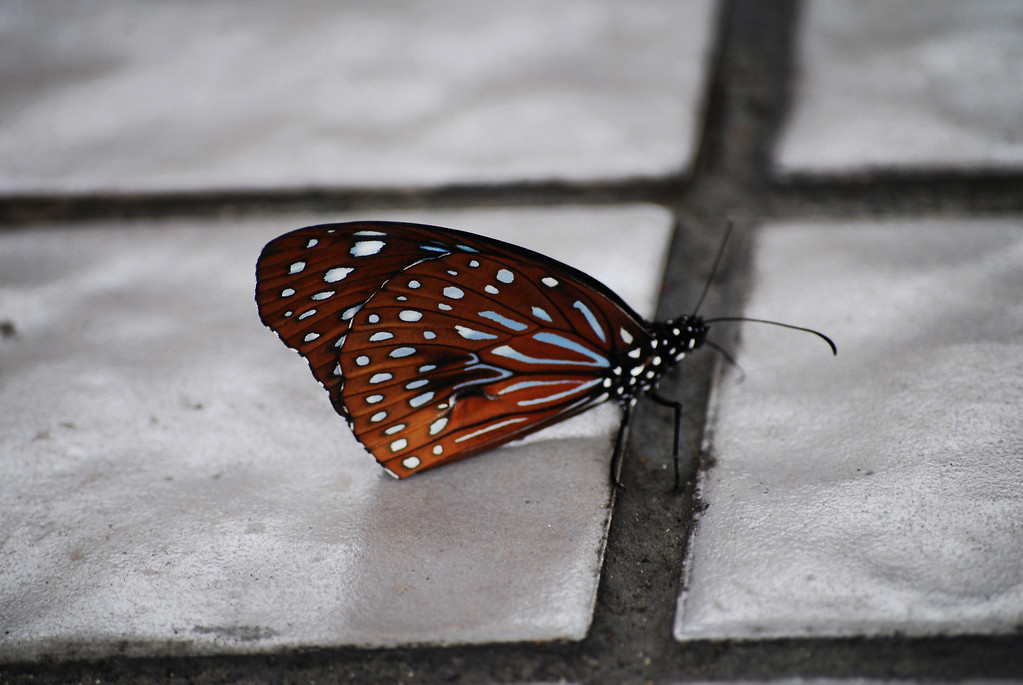 Dark Blue Tiger (Tirumala septentrionis septentrionis)