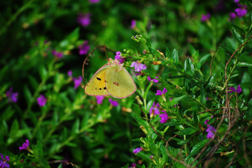 Dark Clouded Yellow (Colias chinensis fieldii)