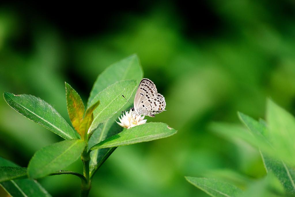 Tongeia filicaudis fischeri