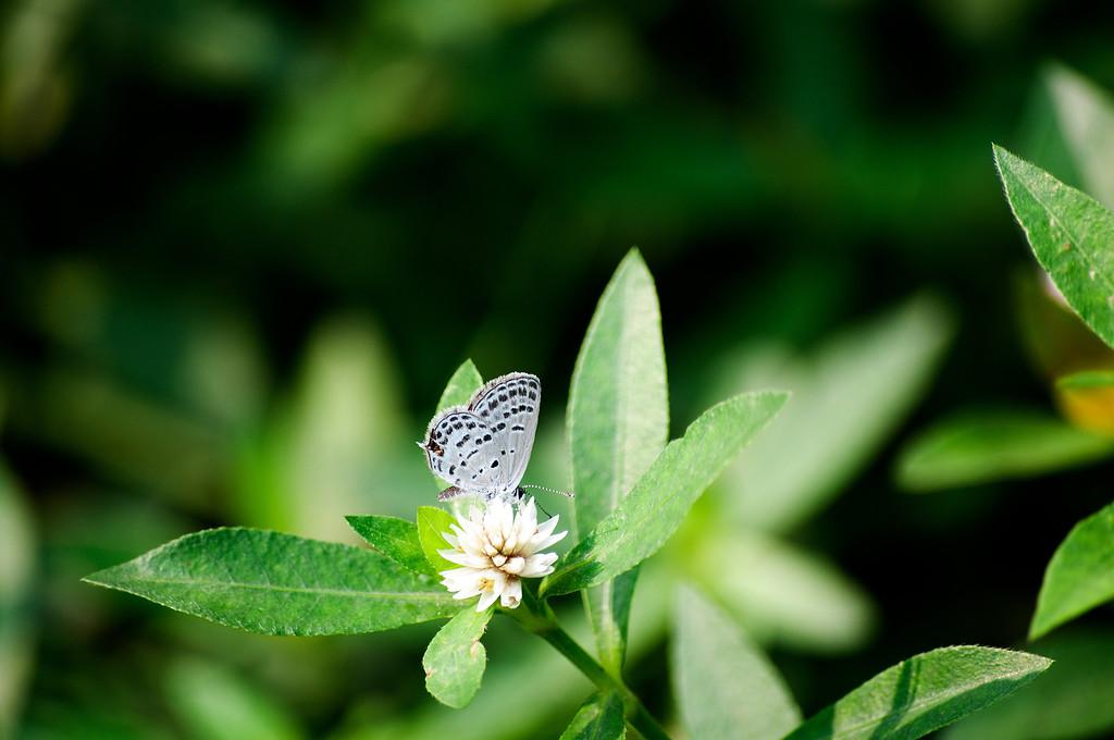 Tongeia filicaudis mushanus