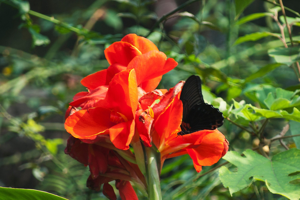 Great Mormon (Papilio memnon heronus)