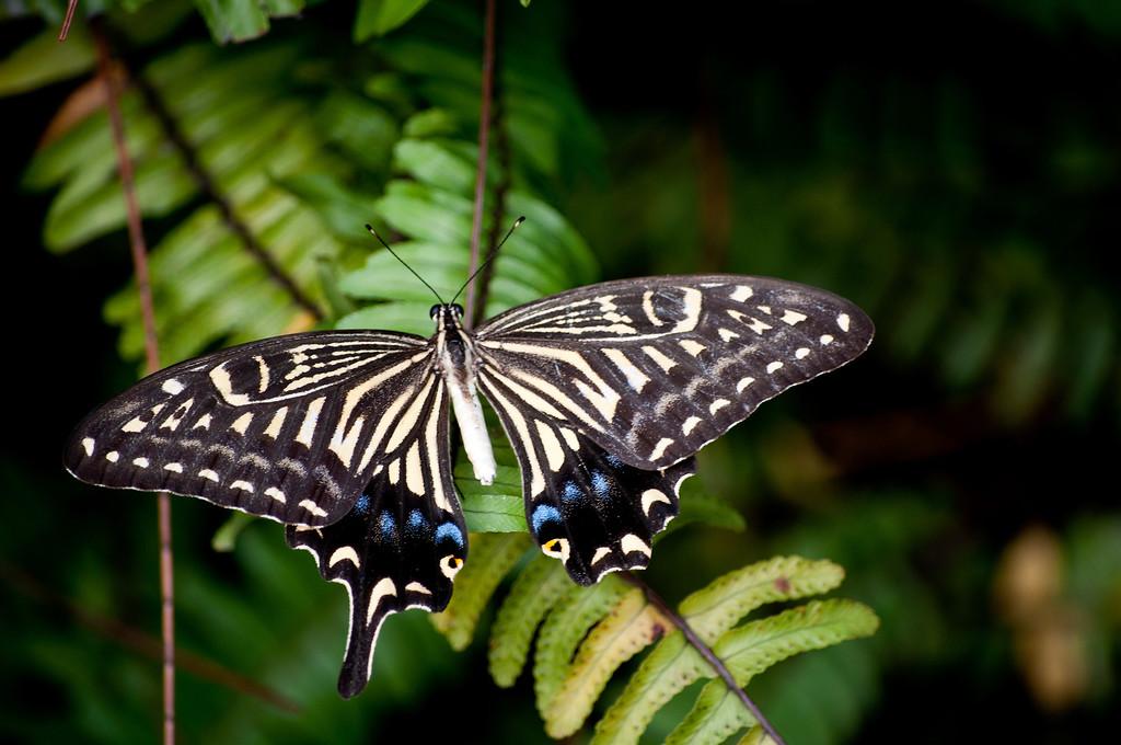 Asian Swallowtail or Chinese Yellow Swallowtail (Papilio xuthus)