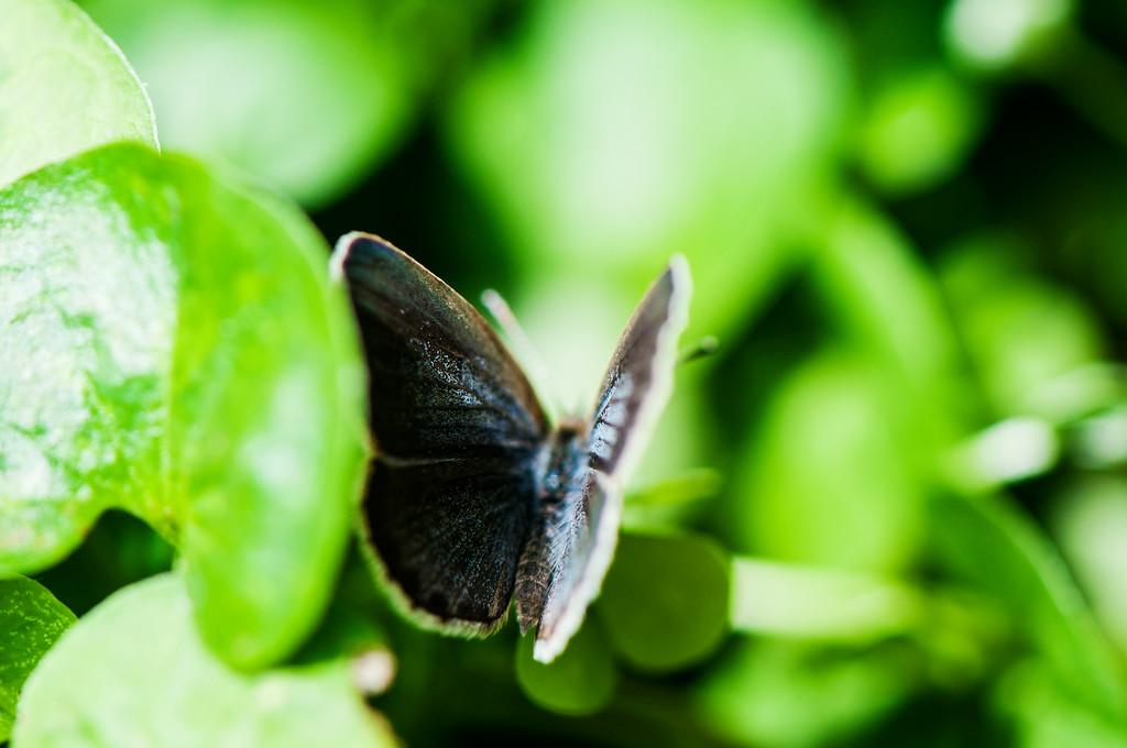 Pale Grass Blue (Zizeeria maha) male