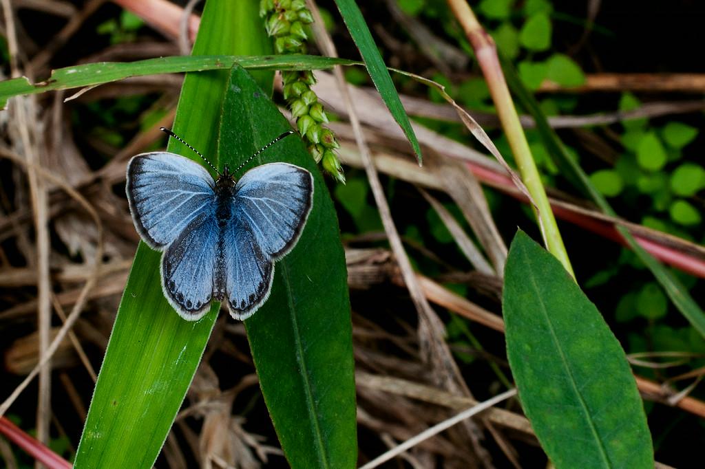Pale Grass Blue (Zizeeria maha) female