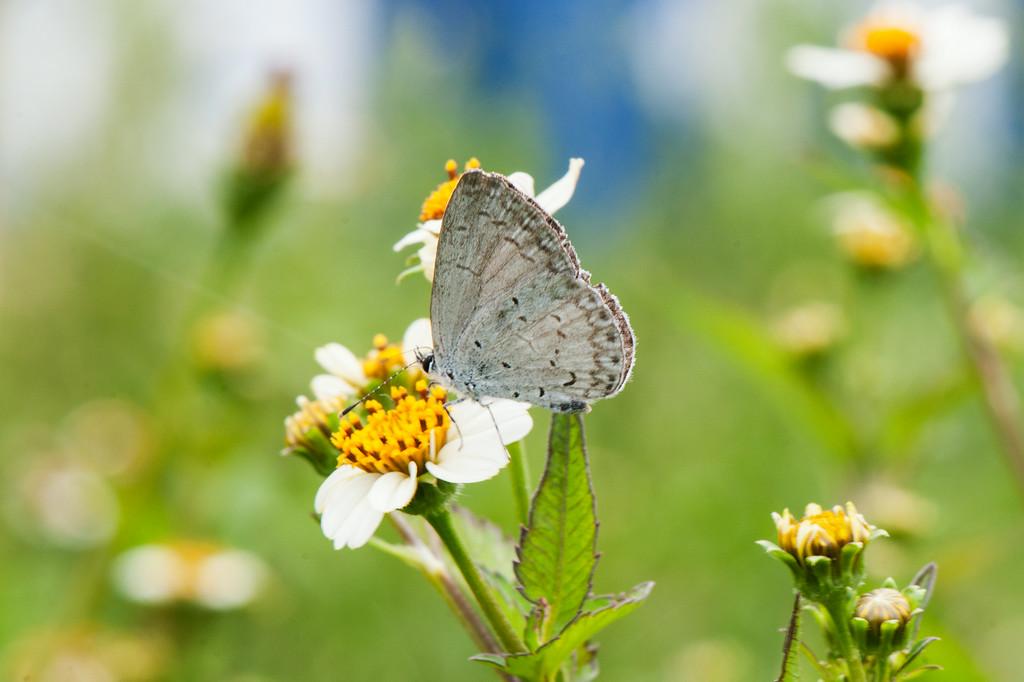 Pale Hedge Blue (Udara dilecta)