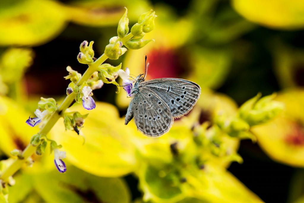 Pale Grass Blue (Zizeeria maha)