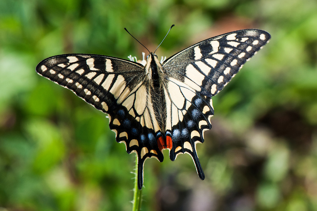 Old World Swallowtail (Papilio machaon montanus)
