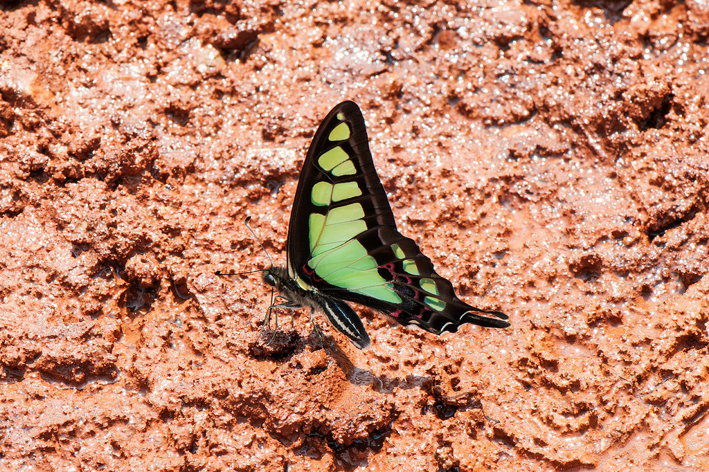 Glassy Bluebottle (Graphium cloanthus)