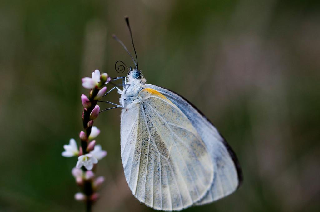 Kashmir White (Pieris deota)