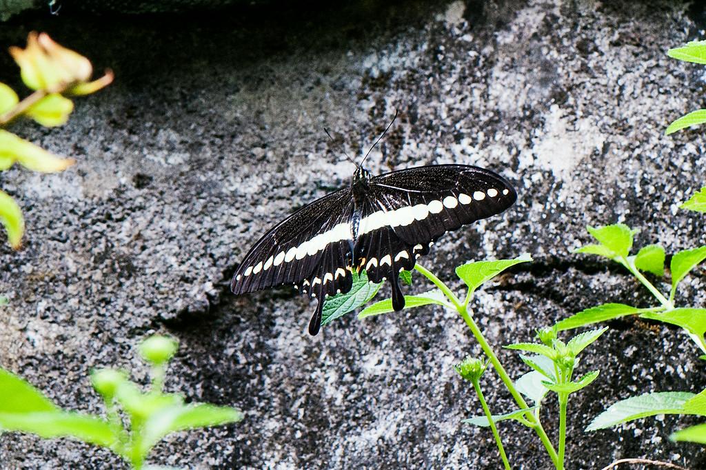 Banded Swallowtail (Papilio demolion demolion)