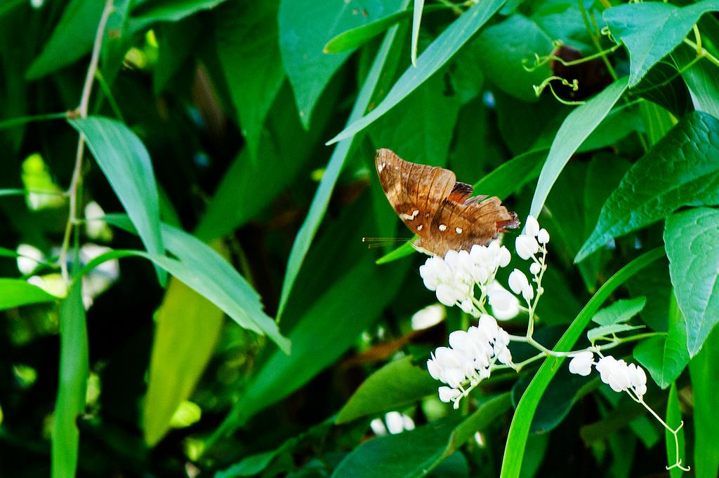Leafwing (Doleschallia bisaltide pratipa)