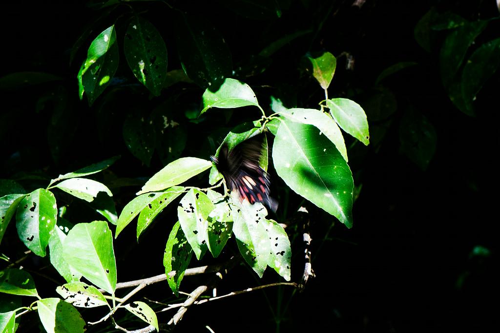 Pachiloptera aristolochiae balinus