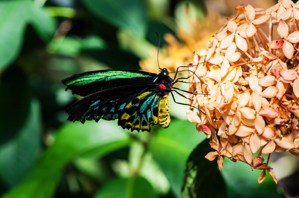 Common Green Birdwing (Ornithoptera priamus) male