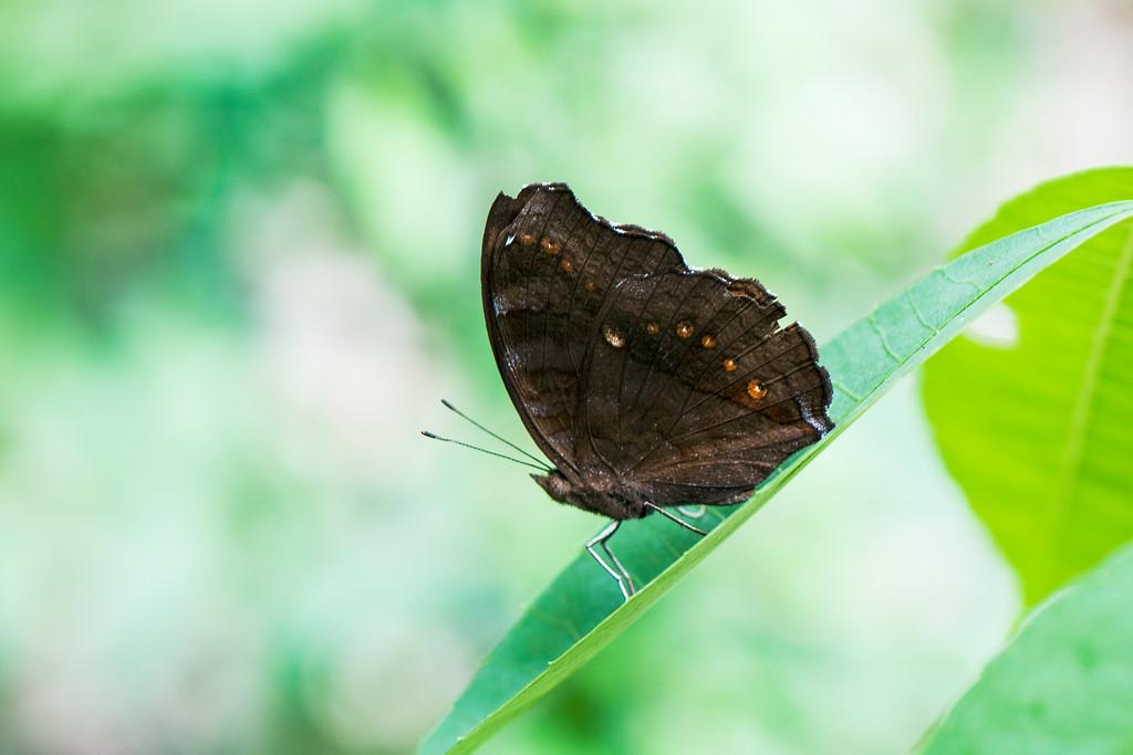 Brown Soldier (Junonia hedonia ida)