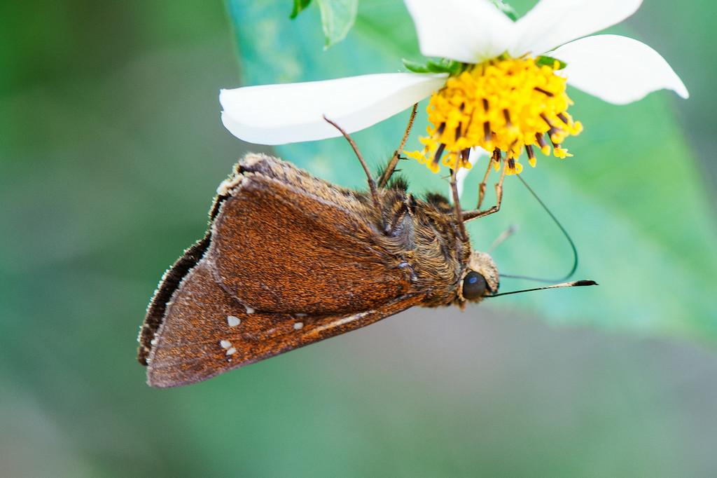 Dark Swift (Caltoris cahira austeni)