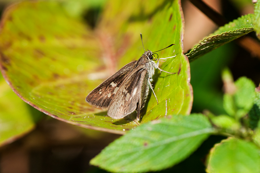 Yellow Spot Swift (Polytremis eltola tappana)
