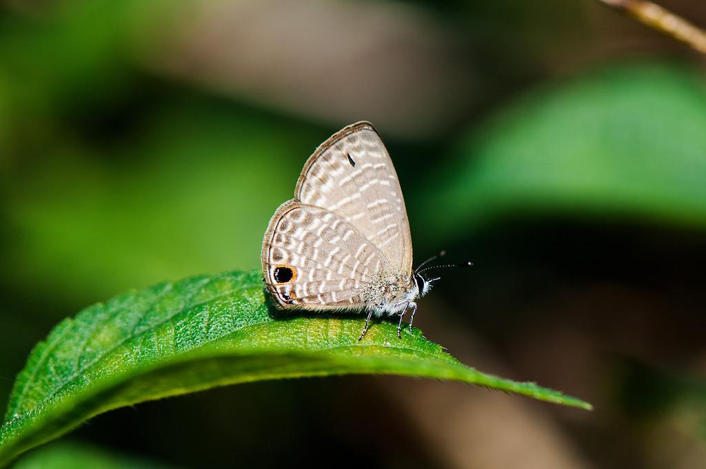 Transparent six-line blue (Nacaduba kurava therasia, 大娜波灰蝶)