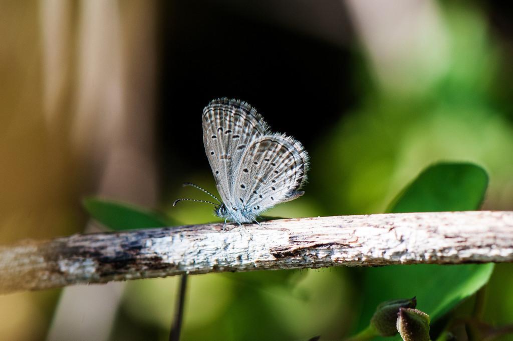 Gaika Blue or Tiny Grass Blue (Zizula hylax)