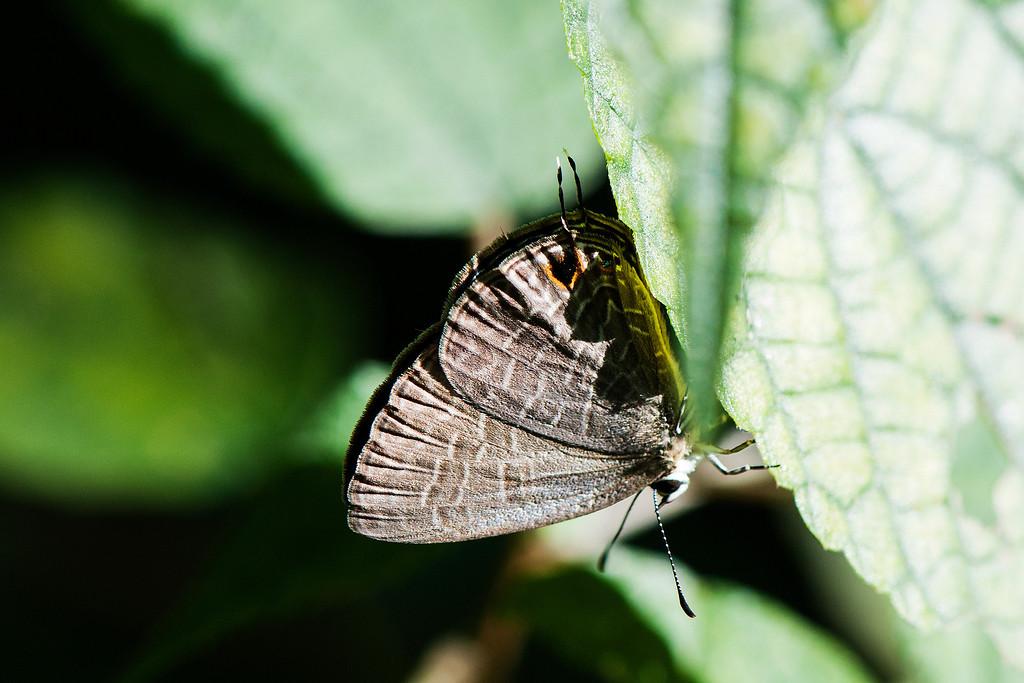 Jamides bochus formosanus