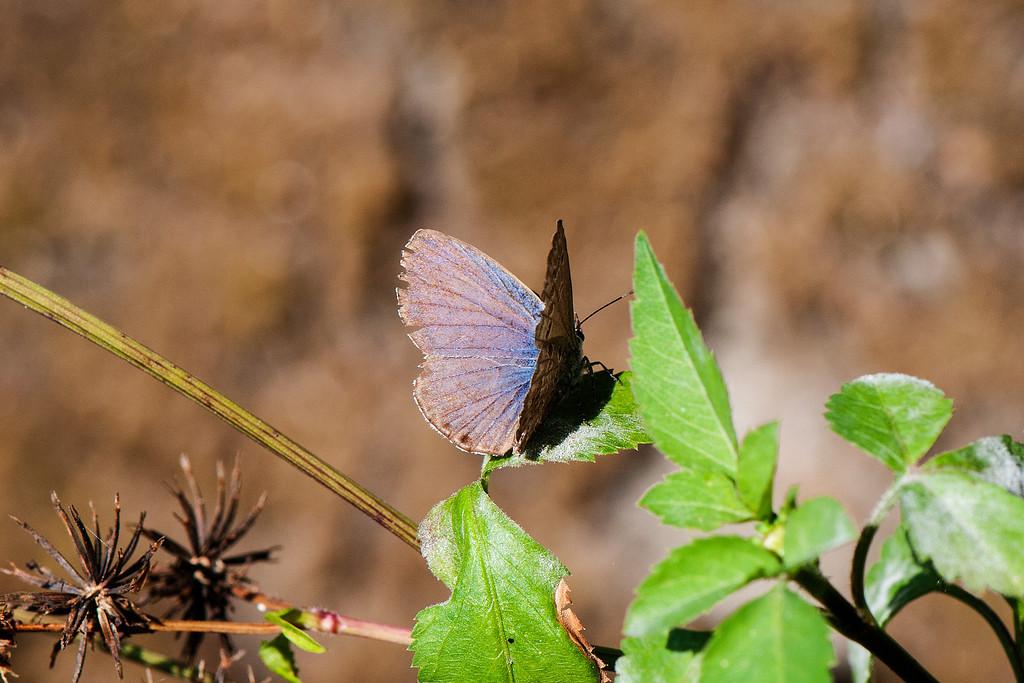 Chilades laius koshuensis male