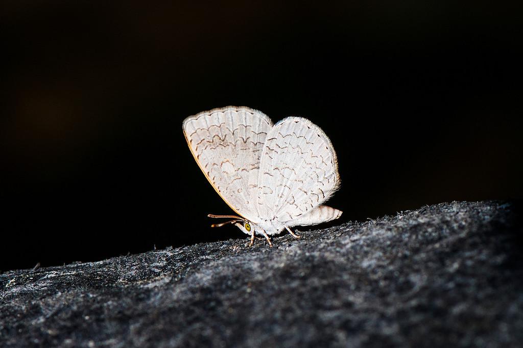 Apefly (Spalgis epeus dilama)